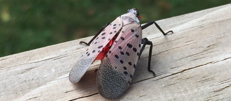 an image of an adult spotted lanternfly